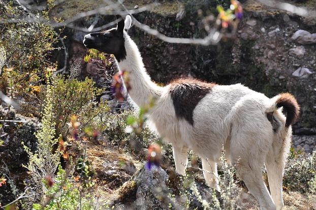 Ein wildes Lama