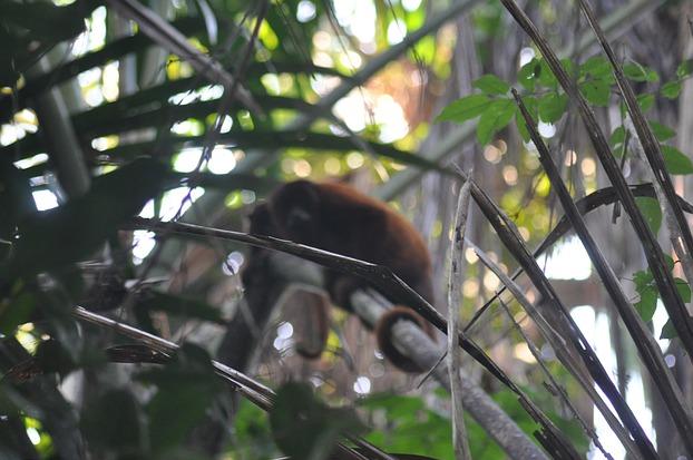 Ein Affe im Dschungel