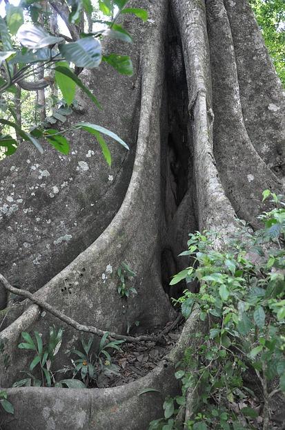 Riesige Baumwurzel im Dschungel