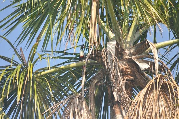 Tukan im peruanischen Regenwald