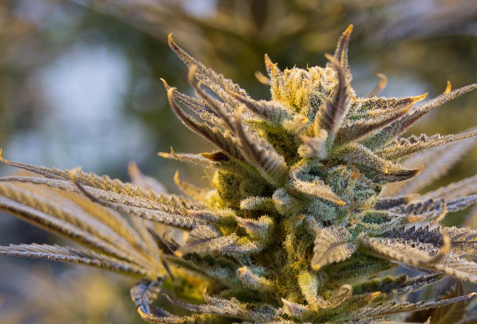 cannabis cbd öl - rick simpson